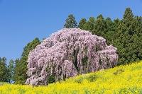 福島県 菜の花と合戦場のしだれ桜
