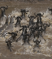 ケニア マサイマラ国立保護区 オグロヌーとグラントシマウマ