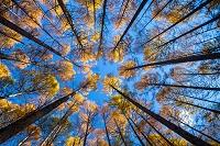 長野県 秋のカラマツ林