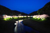 静岡県 南伊豆 河津桜の夜景