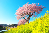 静岡県 南伊豆 河津桜