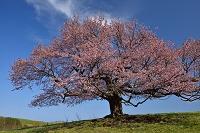 岩手県 宮古市 亀ヶ森の一本桜