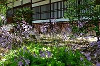 京都府 光明寺のギボシの花