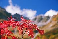 長野県 涸沢カールより紅葉のナナカマドと北穂高岳