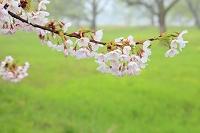 岩手県 北上市 北上展勝地 桜の花