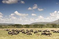 ケニア オグロヌーとシマウマの群れ