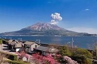 鹿児島県 磯庭園の緋寒桜と桜島