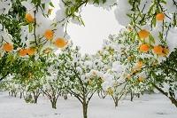 栃木県 雪と柚子の木