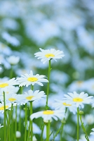 花 マーガレット