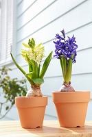 鉢植えの花 ヒヤシンス