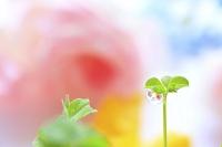 五つ葉のクローバーと水滴に写り込んだバラ