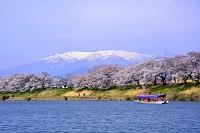 宮城県 一目千本桜と白石川を渡る屋形船と残雪の蔵王連峰