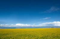 中国 青海省 青海湖と菜の花畑