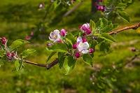 長野県 リンゴの花(あかぎ)