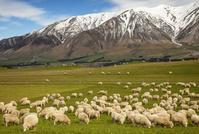 ニュージーランド 南島 牧羊
