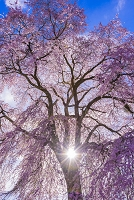 長野県 駒ケ根市 上の山の枝垂れ桜