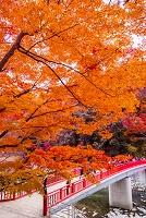 愛知県 香嵐渓の紅葉と待月橋