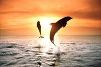 ジャンプするハンドウイルカ