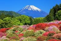 神奈川県 ツツジと富士山