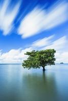 沖縄県 西表島 ヒルギ