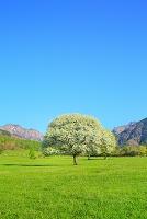山梨県 八ヶ岳牧場 ヤマナシの花と八ヶ岳