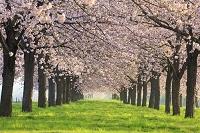 長野県 千曲川堤防の桜堤 桜並木朝景
