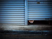 シャッターの隙間から顔を覗かせる柴犬