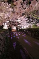 長野県 高遠城址公園 ライトアップされた高遠コヒガンザクラと問...