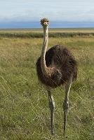 ナミビア エトーシャ国立公園 ダチョウ
