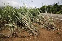 沖縄県 石垣島 台風で倒れたサトウキビ