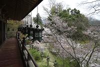 奈良県 談山神社 拝殿回廊とサクラ