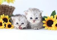 ミヌエットの子猫とひまわり