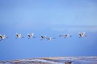 北海道 夕日にネグラに飛ぶ丹頂鶴