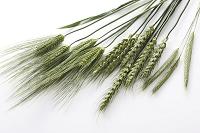 大麦と小麦とライ麦