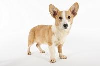 ウェルシュコーギー 立っている犬