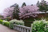埼玉県 忍城・ユキヤナギとサクラ