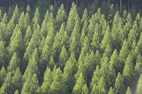 植林された杉
