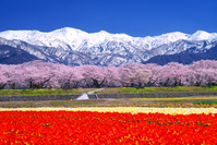 富山県 桜の舟川べり