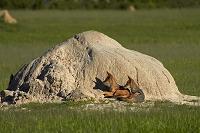 ジンバブエ ワンゲ国立公園 ジャッカル