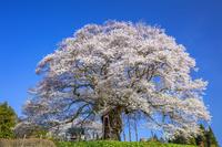 岡山県 醍醐桜朝景 推定樹齢1000年