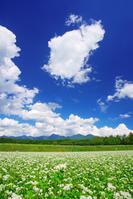 長野県 原村 ズームラインの深山交差点付近の花咲く蕎麦畑と八...
