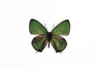 蝶 標本 キリシマミドリシジミ 日本