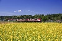 長野県 飯山線と菜の花