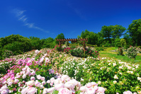 長野県 上田市 信州国際音楽村のバラ園