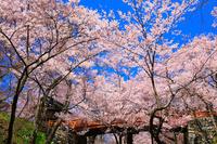長野県 高遠城址公園・桜雲橋