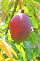東京都 小笠原諸島 父島で栽培されているマンゴー