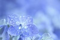 梅雨 アジサイと雫