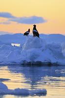 北海道 羅臼の流氷に立つオオワシと朝焼け空