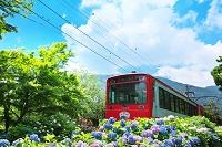 神奈川県 夏の箱根 あじさい電車