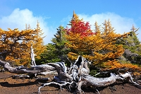 山梨県 富士山奥庭周遊コースのハイマツ
